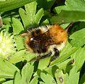 Bombus pascuorum - Flickr - gailhampshire (4).jpg