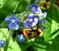 Bombus sp. (cullumanus^) - Flickr - gailhampshire.jpg