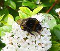 Bombus terrestris - Flickr - gailhampshire (1).jpg