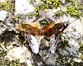 Bombylius major (mating s2).jpg
