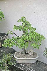 Bonsai - carpinus betulus2.jpg