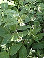 Boraginales - Symphytum officinale - 1.jpg