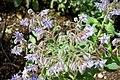 Borago officinalis - Orto botanico - Rome, Italy - DSC00132.jpg