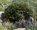 Borde Hill – viburnum rhytidophyllum (5242717986).jpg