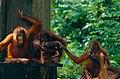 Bornean Orangutans (Pongo pygmaeus) (14585698615).jpg