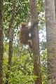 Bornean orangutan (Pongo pygmaeus), Tanjung Putting National Park 10.jpg
