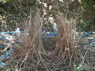 Satin bowerbird - Image: Bower Of Satin Bowerbird