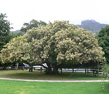 Brabejum stellatifolium tree in flower - Cape Town 6.JPG