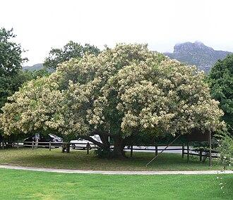 Brabejum - Brabejum stellatifolium in flower