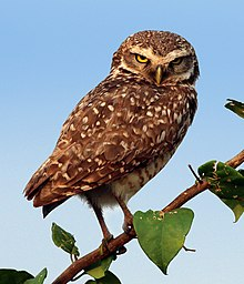 Burrowing owl - Wikipe...