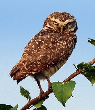 Burrowing owl - Brazilian burrowing owl  A. c. grallaria Pantanal, Brazil