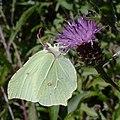 Brimstone (Gonepteryx rhamni) - geograph.org.uk - 923207.jpg