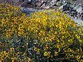 Brittlebush - Encilia farinosa - Mojave Wild Flowers 2008 - panoramio.jpg