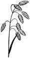 Bromus briziformis HC-1950.png