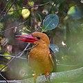 Brown-winged Kimgfisher (45957834282).jpg