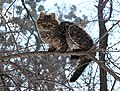Brown tabby cat 2018 G1.jpg