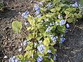 Brunnera macrophylla R0021364.JPG