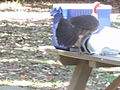 Brush Turkey Stealing Lunch.jpg
