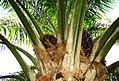 Buah kelapa sawit (9).JPG