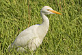 Bubulcus ibis in Israel 3.jpg