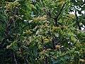 Buchanania axillaris (Cuddapah Almond) 14.jpg