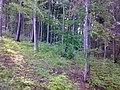 Bukový les - panoramio.jpg