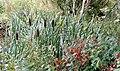 Bulrushes at Loch Spynie - geograph.org.uk - 1458073.jpg