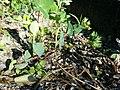 Bupleurum rotundifolium sl106.jpg
