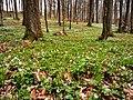 Buschwindröschen im Wald.jpg