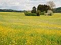 Butterblumen - panoramio.jpg