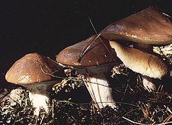 http://upload.wikimedia.org/wikipedia/commons/thumb/5/5a/Butterroehrling.jpg/250px-Butterroehrling.jpg