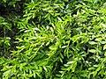 Buxus microphylla Bukszpan drobnolistny 2019-04-28 02.jpg