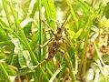 Cérambycidé (Cerambycidae).jpg