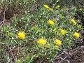 C. arborescens-gen-1.JPG