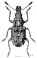 COLE Anthribidae Lophus rudis m.png