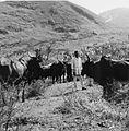 COLLECTIE TROPENMUSEUM Een boer met zijn kudde runderen TMnr 20014138.jpg