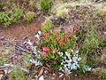 CSIRO ScienceImage 11462 Flora at Cradle Mountain Tasmania.jpg