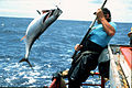 CSIRO ScienceImage 2323 Tagging Bluefin Tuna.jpg