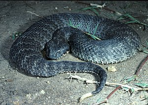 Common death adder - Image: CSIRO Science Image 3990 Death Adder