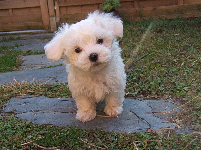 File:Cachorro de Bichon Maltes.JPG