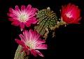 Cactus (5843446399).jpg
