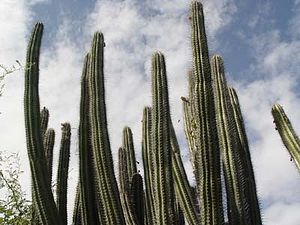 Caja de Muertos - Cactus in the island's dry forest