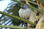 Cactus Wren in palm tree.jpg