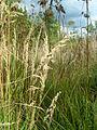 Calamagrostis canadensis 2-jgreenlee (5097814544).jpg