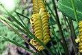 Calathea crotalifera 17zz.jpg