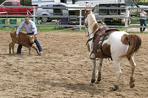 Calf roping - Calf roping in modern competition