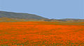 California Poppies (Eschscholzia californica) (14014596473).jpg