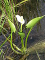 Calla palustris 5 (5097833186).jpg