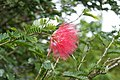 Calliandra haematocephala 0203.jpg