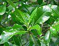Calodendrum capense 4.jpg